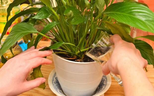 Это простое средство сотворит чудо даже с самыми хилыми растениями