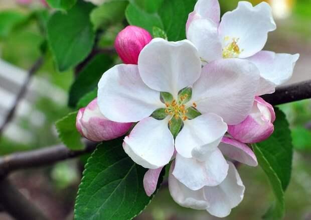Обои цветы, цветущие, деревья, кустарники, цветение, яблоня, бутоны, лепестки, макро, ветка скачать обои для рабочего стола,карт