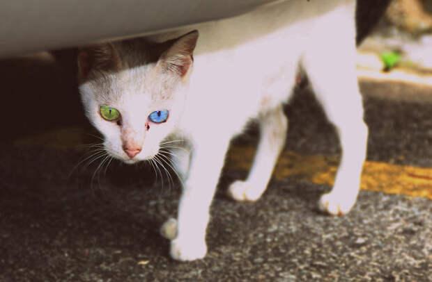 heterochromia-animals-different-eye-colors-3__700