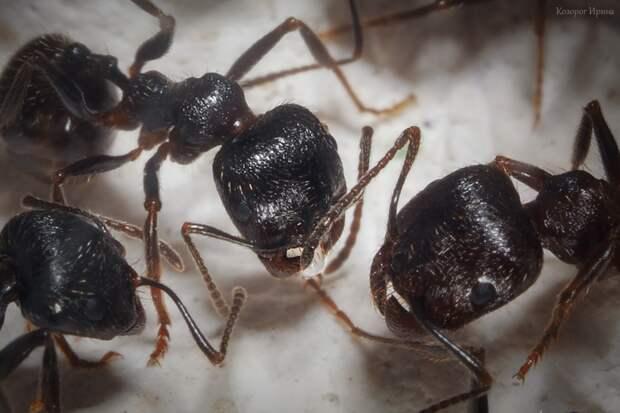 Снес яйцо и растерялся макро, муравей, муравейник