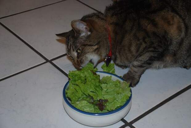 кошка ест салат