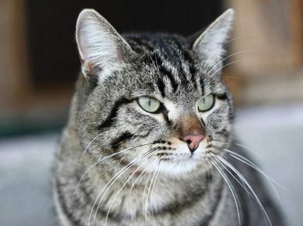 Кот Винни животные, коты