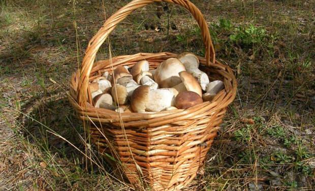 Как не спутать съедобные грибы с ядовитыми? гриб, грибы