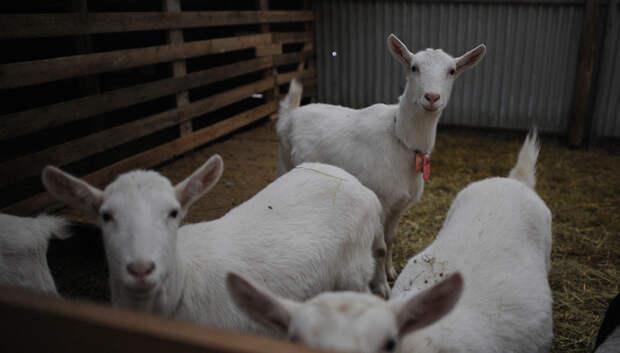 Фермеры области могут получить субсидии от властей региона на развитие козоводства