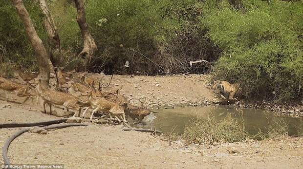 За 12 оленями погонишься – ни одного не поймаешь! животные, охота, тигр