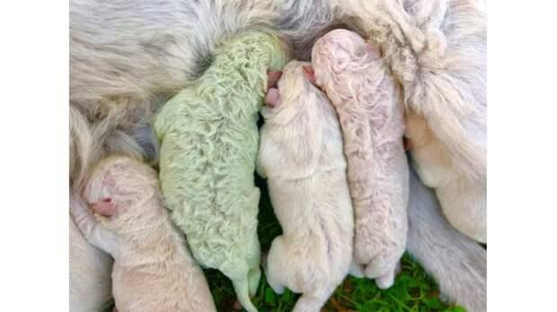 У собаки родился щенок с зеленой шерстью