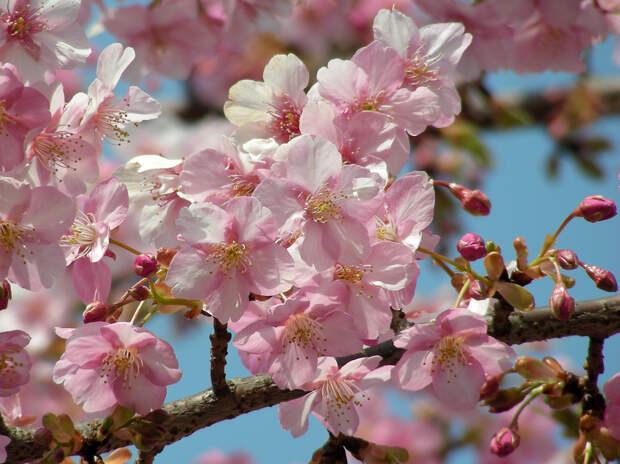 Цветущий абрикос весна, деревья, цветы