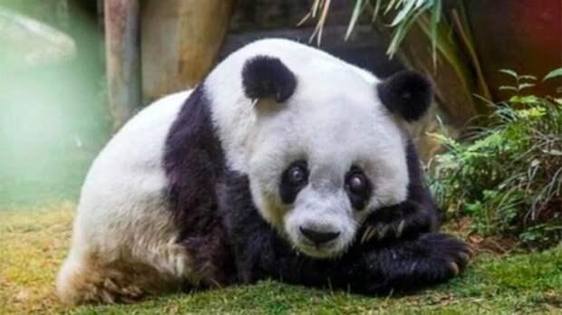 Остановилось сердце у самой старой панды в мире