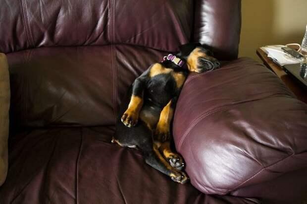 12. «Насколько я заметил, люди иногда спят так. Надо им показать, что я способный и тоже так могу» дом, животные, позитив, собака