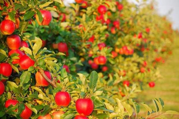 Советы по планировке фруктово-ягодного сада