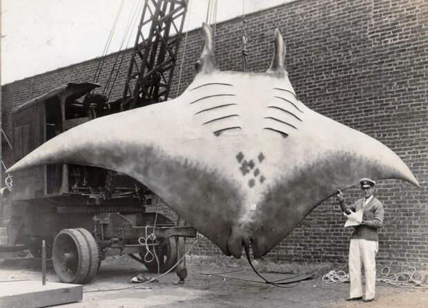 20. «Великий Скат» или «Great Manta», которого поймал капитан Кан, 1933 год. интересное, исторические фото, история, фото