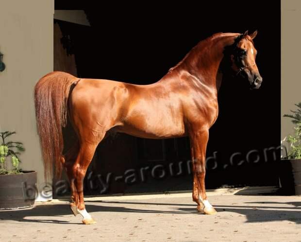 Арабская лошадь (арабская чистокроовная лошадь)