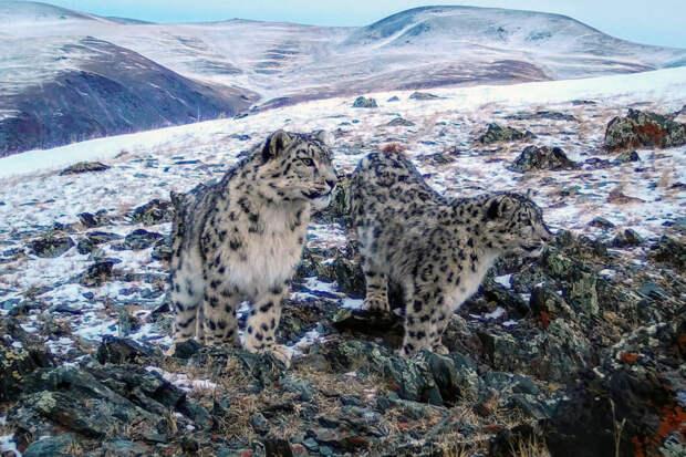 На Алтае сфотографировали двух дружных котят снежного барса