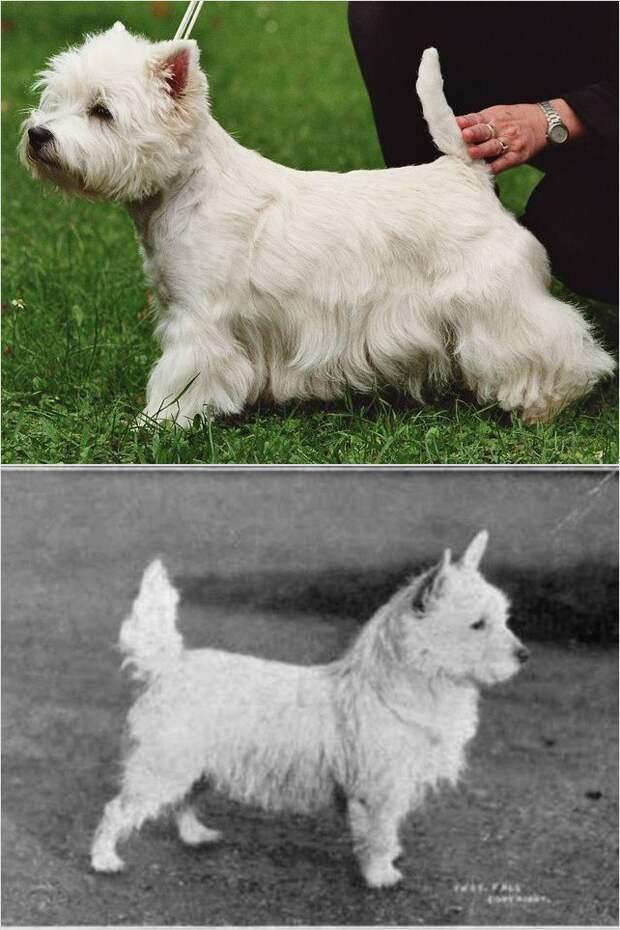 Как выглядели популярные породы собак 100 лет назад