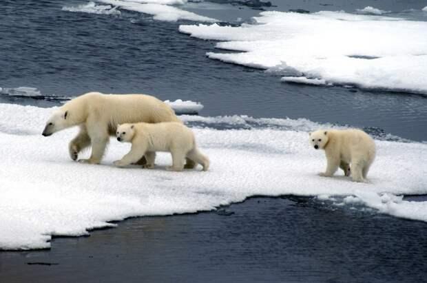 Медвежьи истории: уроки выживания в Арктике