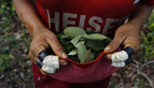 Как в Перу выращивают коку
