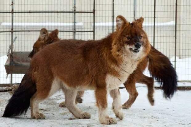 Красный или горный волк. животные, красная книга, факты