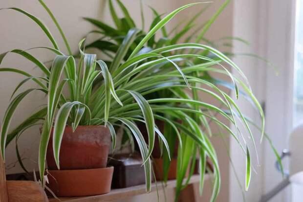 10 причин поселить у себя хлорофитум. Уход в домашних условиях