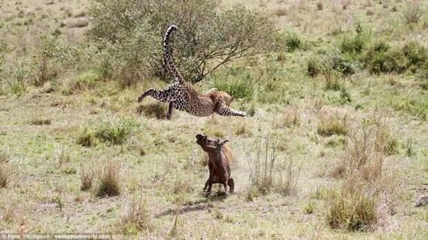 Леопард против бородавочника - прыжок смерти бородавочник, животные, леопард, охота, рыжок