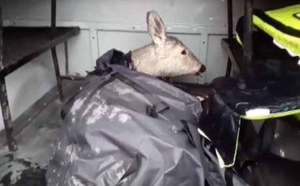 Под Челябинском спасли тонущую косулю