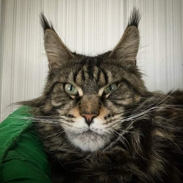 5. Мисс Бесподобность! домашний питомец, животные, забавно, кот, мейн-кун, фото, юмор