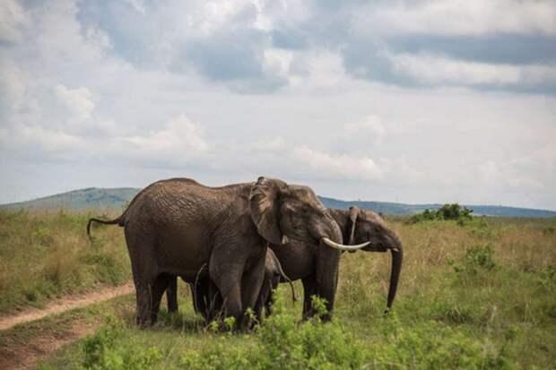 Трагическая встреча слона и буйвола африка, буйвол, слон
