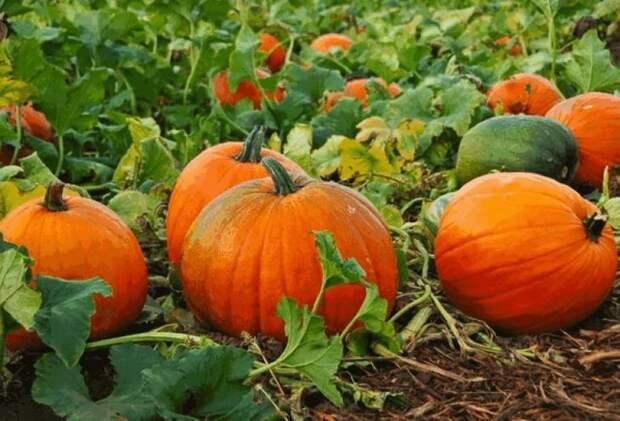 Как вырастить оранжевую красавицу — тыкву Конфетку