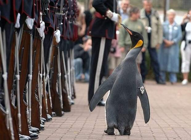 Сэр Нильс Улаф — королевский пингвин, являющийся талисманом норвежской королевской гвардии. Носит звание полковник, в 2008 году посвящён в рыцари история, картинки, фото