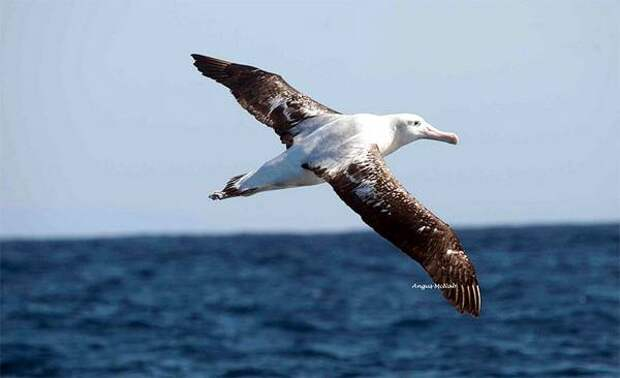 Странствующий альбатрос (Diomedea exulans), фото птицы фотография