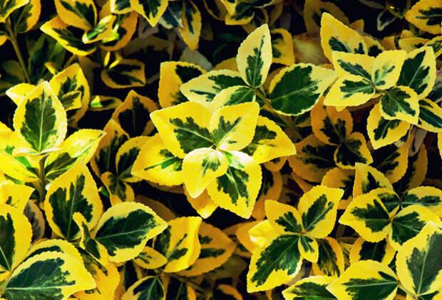 Бересклет Форчуна Emerald Gold