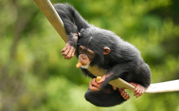 3-летний шимпанзе в зоопарке в Оклахома-Сити, США
