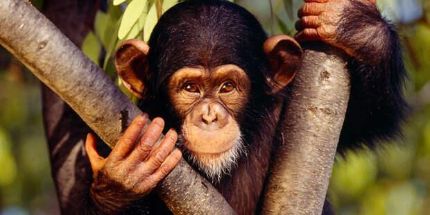 Почему обезьяны не превращаются в человека? Мифы об эволюции человека