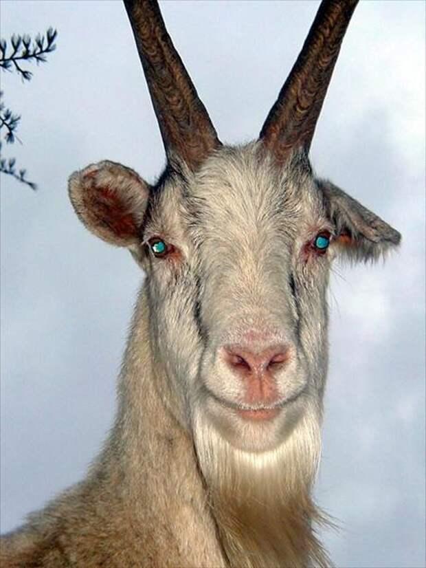 Козел Борюха - хозяин стада