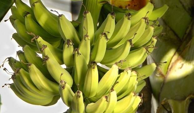 Как вырастить бананы в квартире