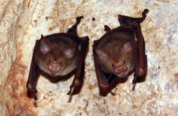 Подковогубые летучие мыши, Африка