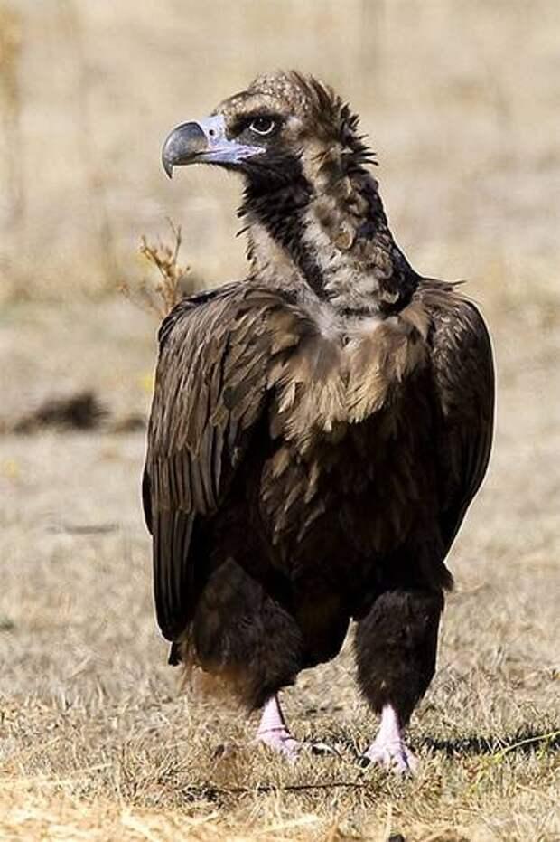 Чёрный гриф, или бурый гриф (Aegypius monachus), фото картинка хищные птицы фотография