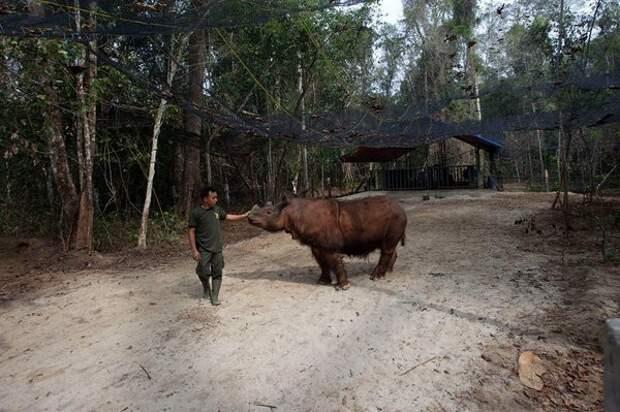 Снимки редчайшего суматранского носорога Суматра, зоопарк, млекопитающие, носорог, охрана природы, палеонтология