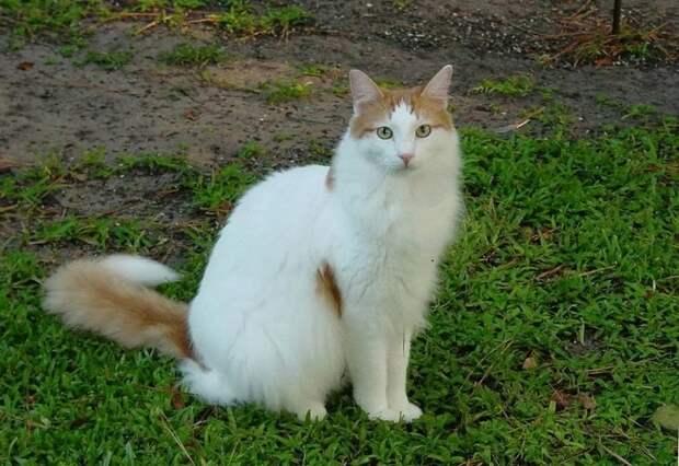 Породы самых больших в мире домашних кошек
