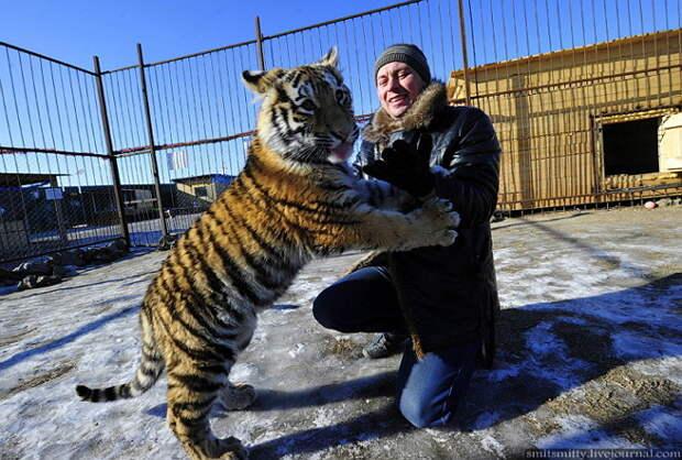 """Хозяин семейного зоопарка """"Чудесный"""" Юрий Зотов играет с семимесячной амурской тигрицей Кристал.  """"Чудесный"""", Семейный, зоопарк, уссурийск"""