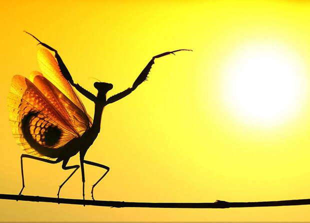 Солнечный богомол (Hasan Baglar, Кипр).