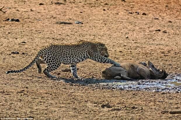 Подъем!: Леопард трогает животное лапой бородавочник, животные, леопард, охота, природа