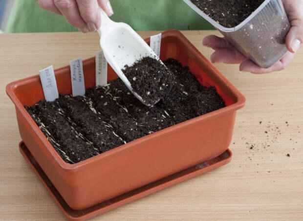 бархатцы, выращивание рассады, заделка семян в почву