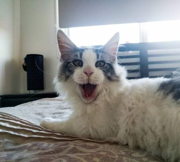 6. Когда зевал и удивлялся одновременно животные, коты, кошки, милота, питомцы, фото