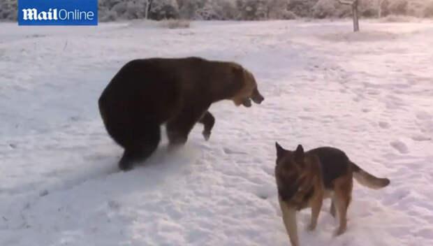 Резвящийся с собакой сибирский медведь прославился на YouTube