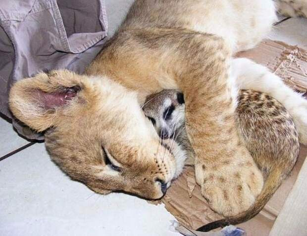 Львенок и сурикат – друзья навсегда