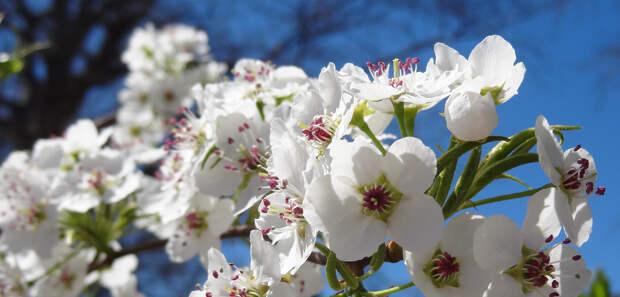Цветущая груша весна, деревья, цветы