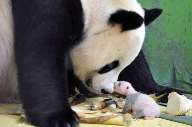 Панда детеныши, дети, животные, забота, звери