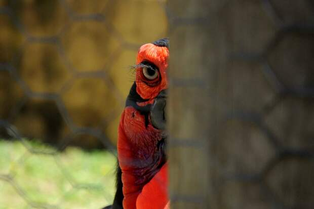 Поэтому далеко не каждый зоопарк способен принять рогатого ворона