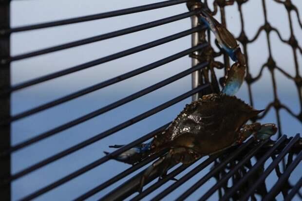 Как ловят голубых крабов…