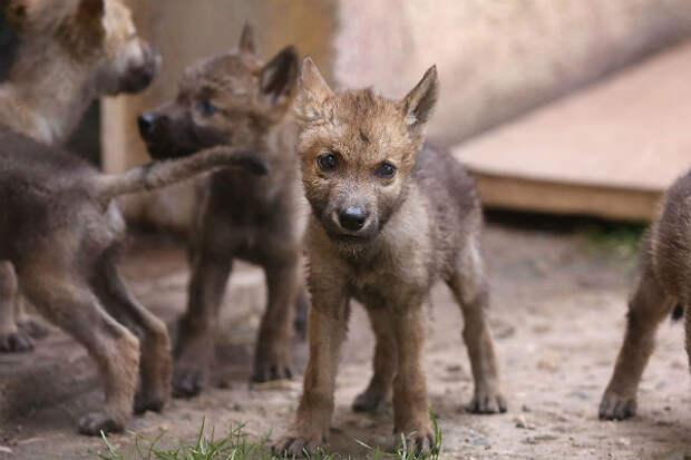На юго-западе Китая появилась первая станция защиты волков